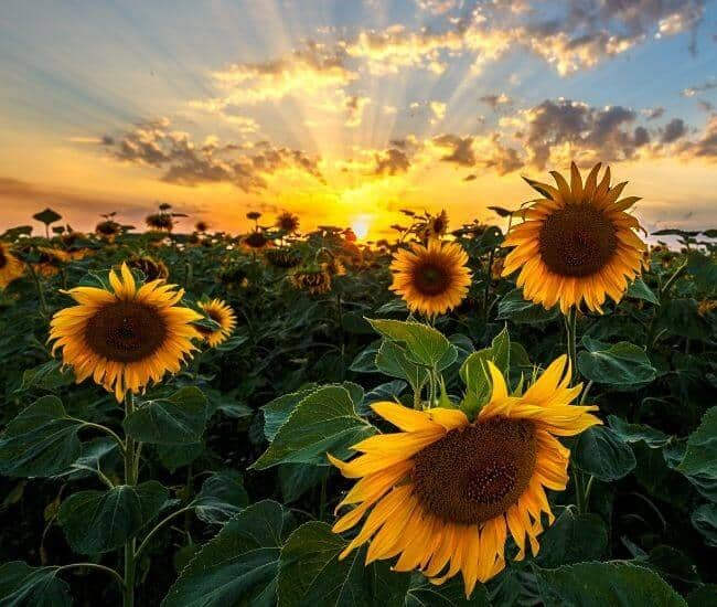 Sunflowers Facing Each Other